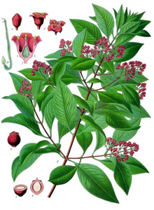 sandalwood-santalum_album_publicdomain